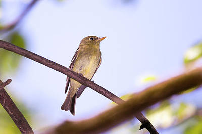 Photograph - Yellow Bellied Flycatcher - Magee Marsh, Ohio by Jack R Perry