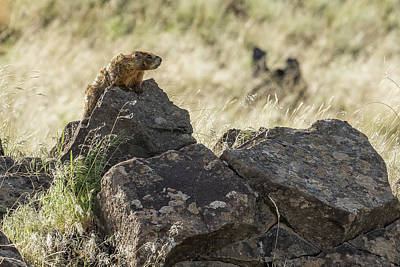 Photograph - Yellow Bellied Marmot At Its Lookout, No.1 by Belinda Greb