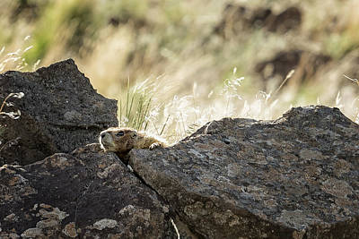Photograph - Yellow Bellied Marmot At Its Lookout, No.2 by Belinda Greb