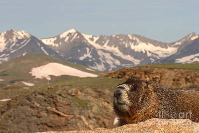 Photograph - Yellow-bellied Marmot In Mountain Meditation by Max Allen