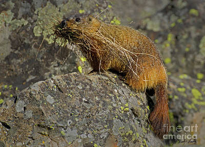 Photograph - Yellow-bellied Marmot-signed-#4728 by J L Woody Wooden