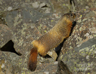 Photograph - Yellow-bellied Marmot-signed-#4766 by J L Woody Wooden