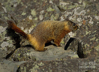 Photograph - Yellow-bellied Marmot-signed-#4780 by J L Woody Wooden