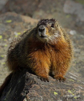 Photograph - Yellow-bellied Marmot-signed-#4785 by J L Woody Wooden