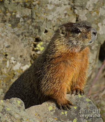 Photograph - Yellow-bellied Marmot-signed-#4819 by J L Woody Wooden