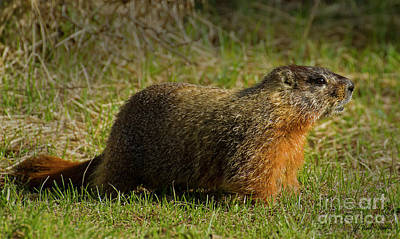 Photograph - Yellow-bellied Marmot-signed-#4855 by J L Woody Wooden