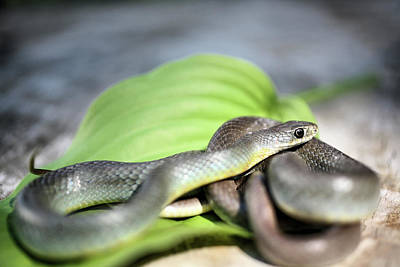 Photograph - Yellow Bellied Racer by JC Findley