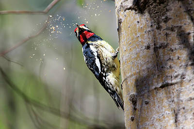 Photograph - Yellow-bellied Sapsucker At Work by Gary Hall