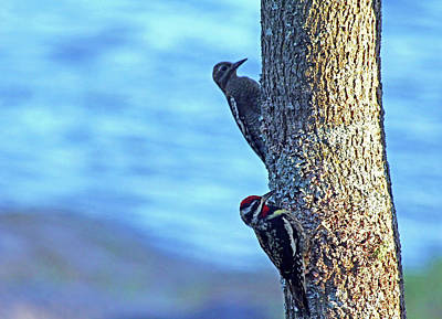 Photograph - Yellow Bellied Sapsucker by Debbie Oppermann