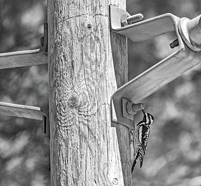 Sapsucker Wall Art - Photograph - Yellow-bellied Sapsucker - The Search Bw by Steve Harrington