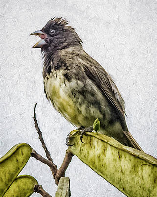 Photograph - Yellow Bellied Seedeater Panaca Quimbaya Colombia by Adam Rainoff