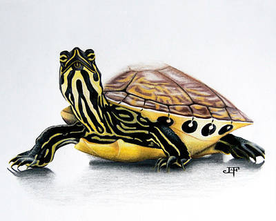 Slider Drawing - Yellow Bellied Slider by J Olson LaF
