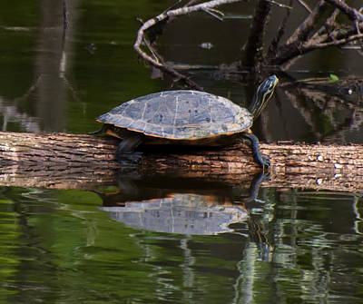 Digital Art - Yellow Bellied Slider Resting On A Log by Chris Flees