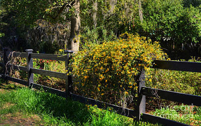 Photograph - Yellow Bells by Kathy Baccari