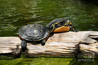 Slider Photograph - Yellow Belly Slider Turtles by Agnes Lankus