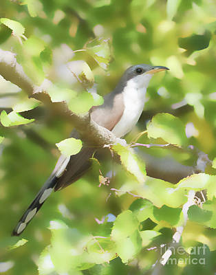 Photograph - Yellow-billed Cuckoo by Anita Oakley