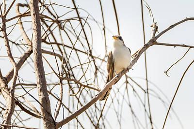 Photograph - Yellow-billed Cuckoo by Debra Martz