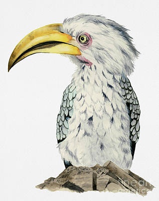 Yellow-billed Hornbill Watercolor Painting Art Print by NamiBear