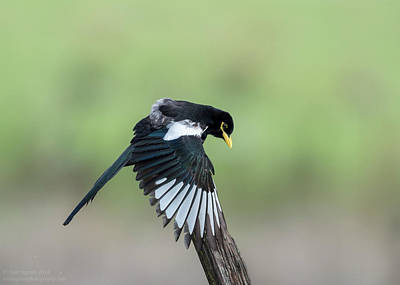 Yellow-billed Magpie Drying Wings In Rain Art Print