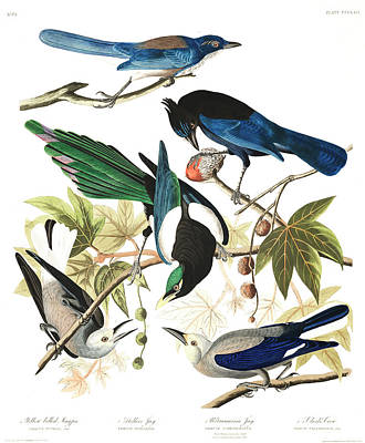 Magpies Wall Art - Painting - Yellow Billed Magpie by John James Audubon
