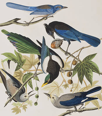Magpies Painting - Yellow-billed Magpie Stellers Jay Ultramarine Jay Clark's Crow by John James Audubon