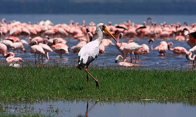 Stork Photograph - Yellow Billed Stork by Aidan Moran