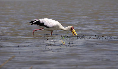 Photograph - Yellow Billed Stork, Birds Of Africa by Aidan Moran