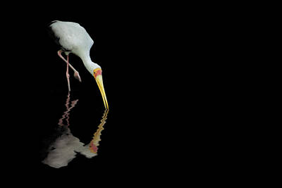 Photograph - Yellow-billed Stork Reflections - Bird - Ibis - Africa by Jason Politte