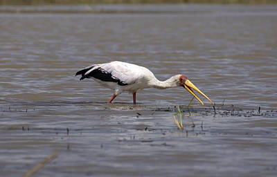 Photograph - Yellow Billed Stork Wading In The Shallows by Aidan Moran