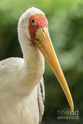 Photograph - Yellow Billed Stork by Werner Padarin