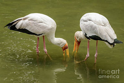 Photograph - Yellow Billed Storks by Werner Padarin