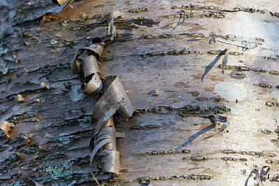 Photograph - Yellow Birch Details by Andrew Pacheco