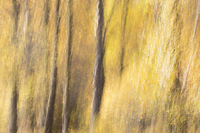 Photograph - Yellow Birch Trees by Karen Van Der Zijden