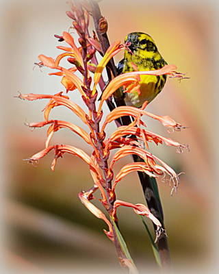 Photograph - Yellow Bird Hi by AJ Schibig