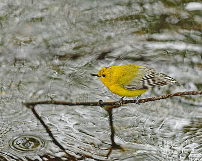 Photograph - Yellow Bird Ripples by Joshua McCullough