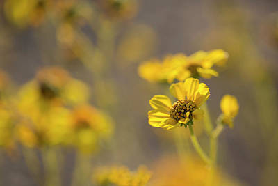 Photograph - Yellow Blooms by Sue Cullumber