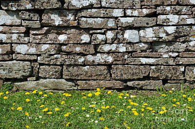 Photograph - Yellow Blossom At The Stone Wall by Kennerth and Birgitta Kullman