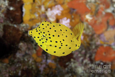 Trunkfish Wall Art - Photograph - Yellow Boxfish Juvenile - Ostracion Cubicus by Anthony Totah