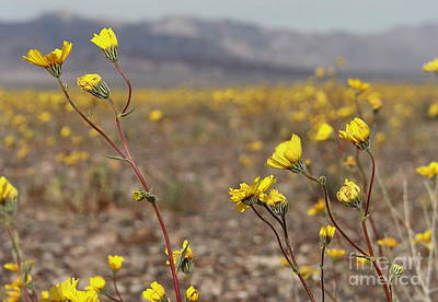 Photograph - Yellow Breeze by Suzanne Oesterling
