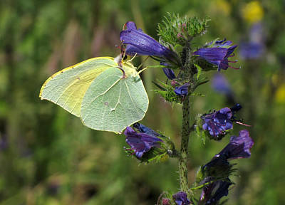 Art Print featuring the photograph Yellow Brimstone Butterfly  by Jacqi Elmslie
