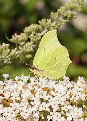 Photograph - Yellow Brimstone Butterfly by Richard Thomas