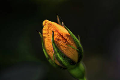 Photograph - Yellow Bud by Richard Gregurich