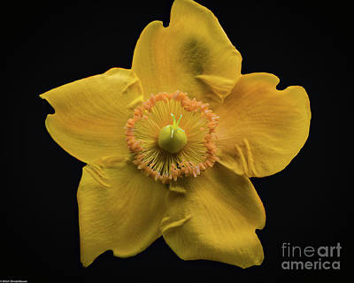 Photograph - Yellow Bush Poppy by Mitch Shindelbower