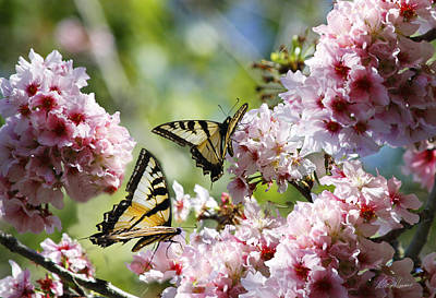 Photograph - Yellow Butterflies On Cherry Blossoms by Diana Haronis