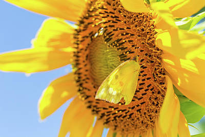 Photograph - Yellow Butterfly And Sunflower by SR Green
