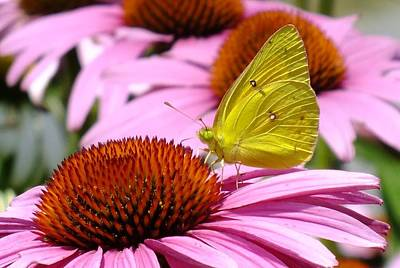 Animals Royalty-Free and Rights-Managed Images - Sulphur Butterfly - Coneflower by Cindy Treger
