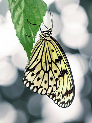 Photograph - Yellow Butterfly Hanging On Green Leaf With Abstract Background by Open Range