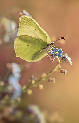Photograph - Yellow Butterfly On Forget Me Not Flowers by Jaroslaw Blaminsky