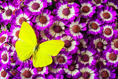 Yellow Butterfly On Pericallis Flowers Art Print by Garry Gay