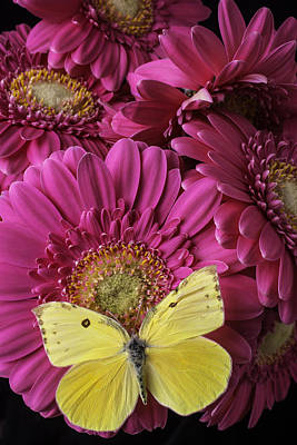 Yellow Butterfly On Pink Daisy Art Print